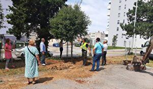 Stabla crnike iz Tuđmanove presađuju se u dvorište Opće bolnice
